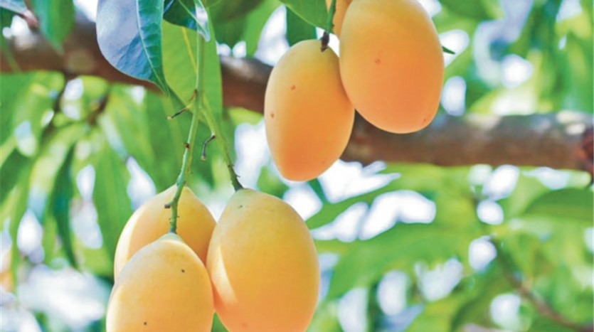 Panama Agricultural Investment in Mango Farmland